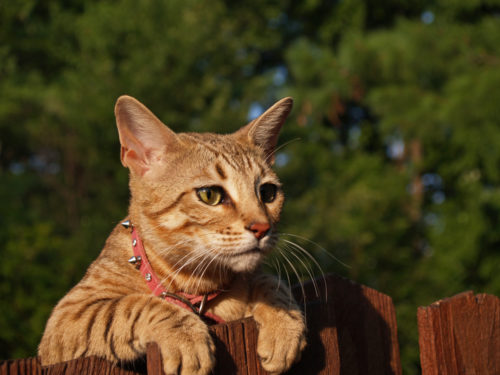 A striped, gold-colored female Savannah cat wearing a pink collar looking over a wooden fence.